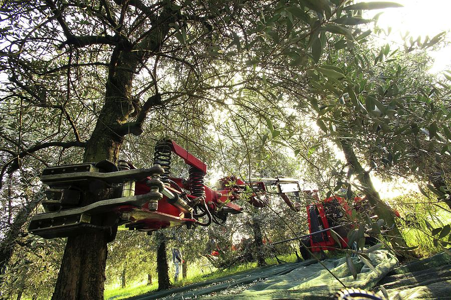 Olive-harvesting Machine
