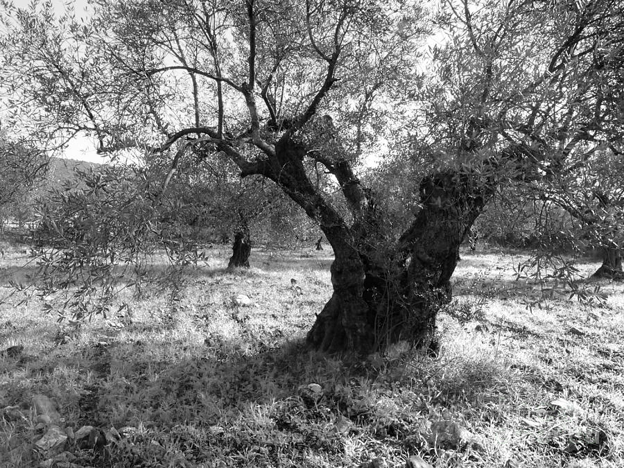 Olive Tree Photograph - Olive Tree Bw by Ilan Ronn