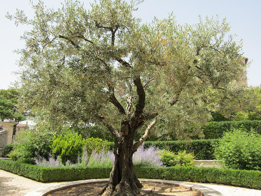 Olive Photograph - Olive Tree by Pema Hou