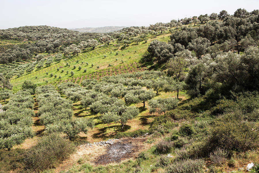 Olive Trees, Crete, Greece by Tim E White