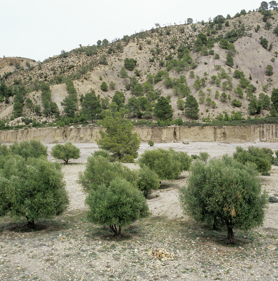 Cedar Pine Photograph - Olive Trees by Mark De Fraeye/science Photo Library