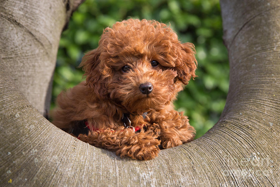 Poodle Photograph - Olli On A Branch by Maurizio Bacciarini