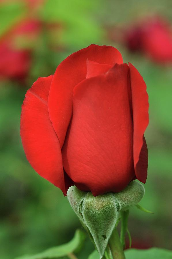 Rose Photograph - Olympiad Hybrid  2 by Allen Beatty