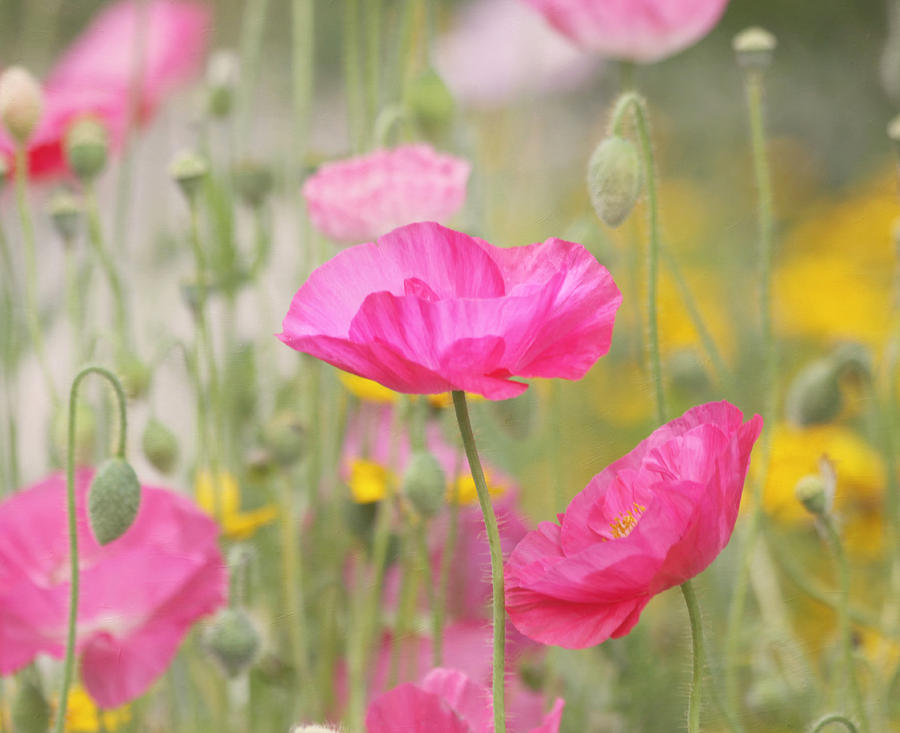 Pink Flower Photograph - On A Summer Day - Pink Poppy by Kim Hojnacki