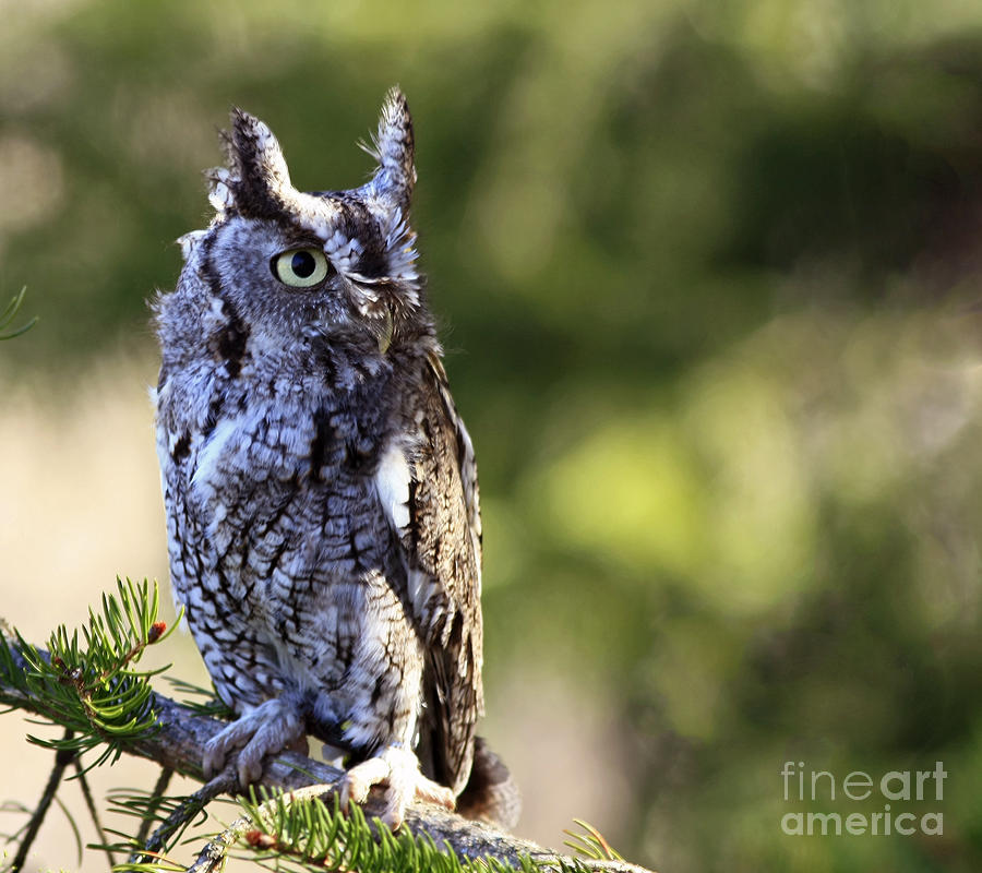 On Alert Photograph - On Alert Majestic Eastern Screech Owl  by Inspired Nature Photography Fine Art Photography