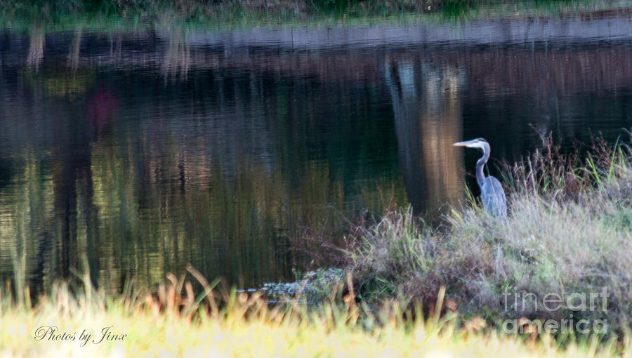 Great Blue Heron Prints Photograph - On Guard by Jinx Farmer