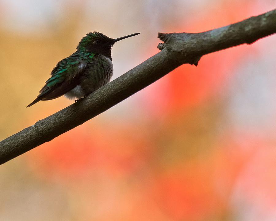 Humming Bird Photograph - On Guard by Robert L Jackson