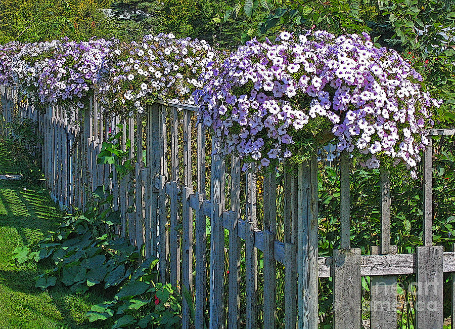 Petunia Photograph - On The Fence by Ann Horn