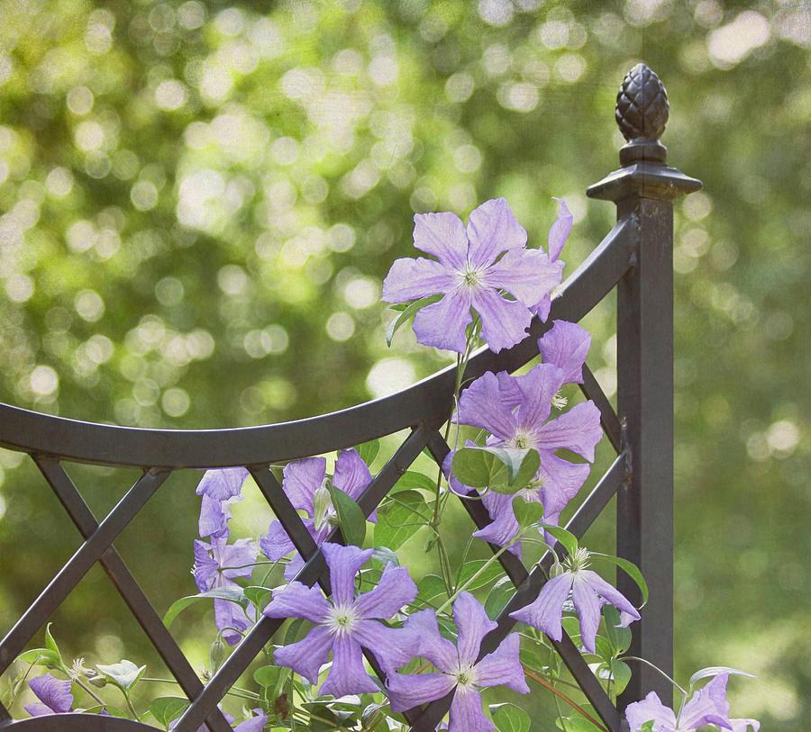 Purple Flower Photograph - On The Fence by Kim Hojnacki