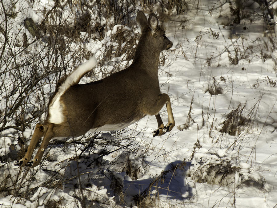 Whitetail Deer Photograph - On The Fly  by Thomas Young