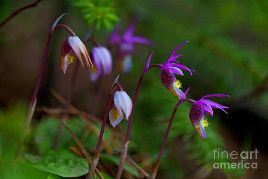 Orchids Photograph - On The Forest Floor by Barbara Schultheis