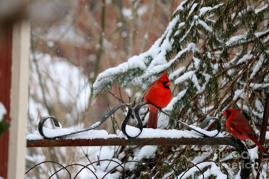 Cardinals Photograph - On The Gate by Jay Nodianos