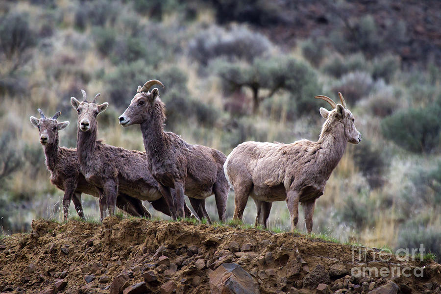 Bighorn Photograph - On The Ledge by Mike  Dawson