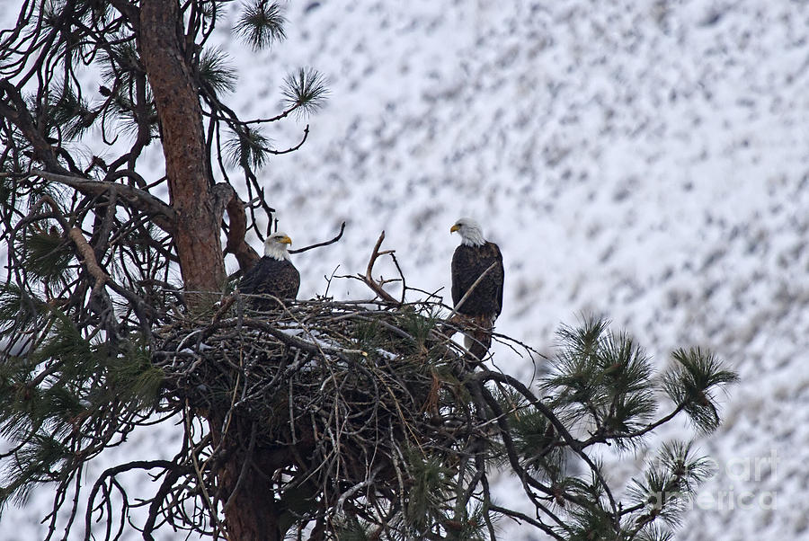 Bald Eagle Photograph - On The Nest by Mike  Dawson