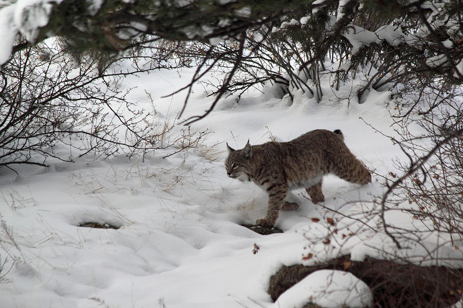 Bobcat On The Prowl Photograph by Shane Bechler