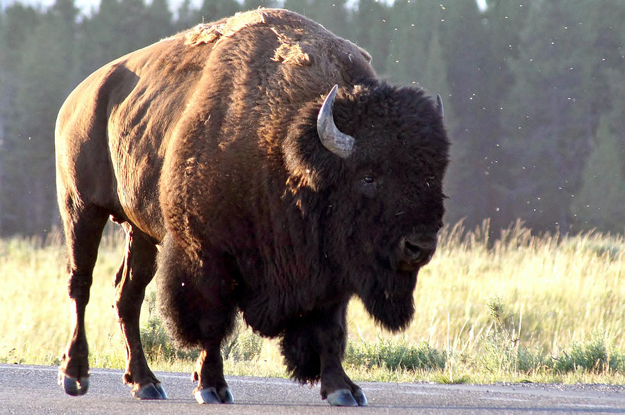 Bison Photograph - On The Road Again by Doug Hubbard
