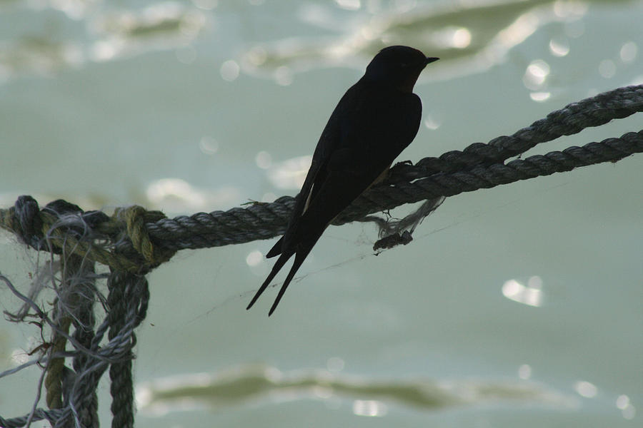 Bird Photograph - On The Ropes by Sharon McLain
