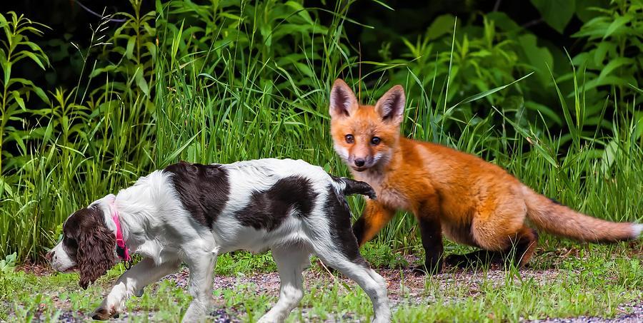 Fox Photograph - On The Scent by Steve Harrington