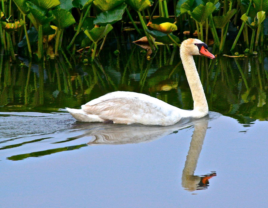 Swan Photograph - On The Swanny River by Frozen in Time Fine Art Photography