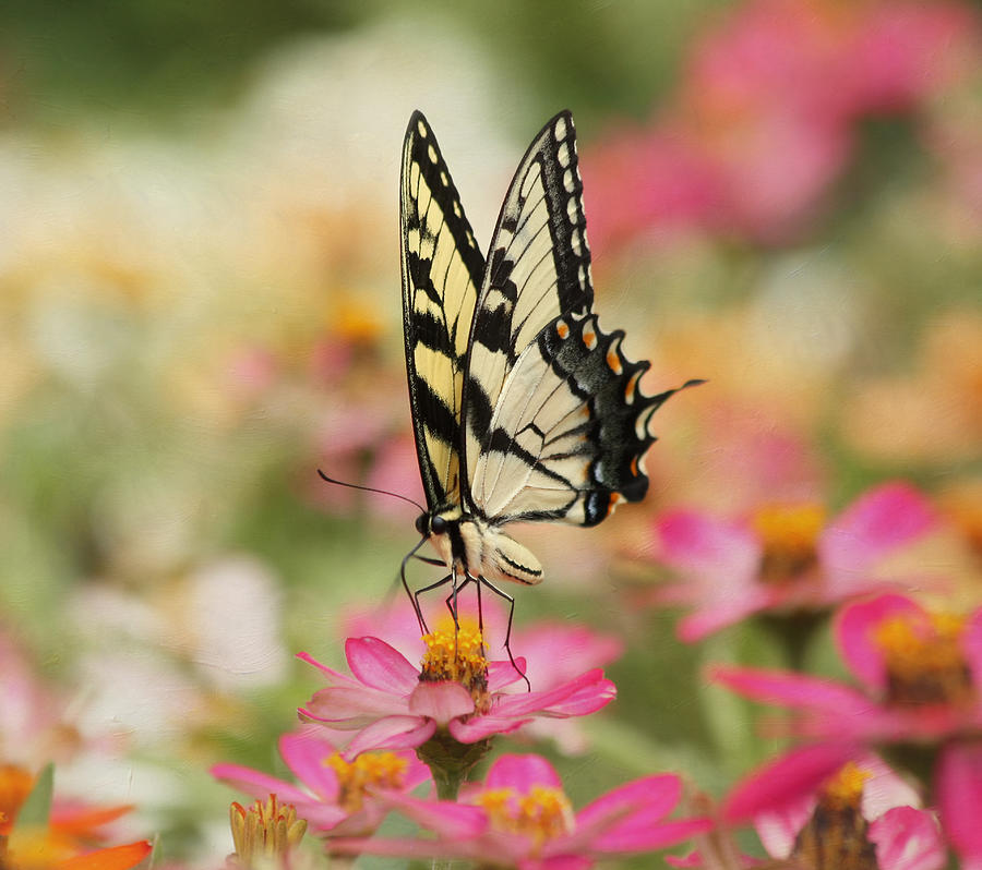 Tiger Swallowtail Butterfly Photograph - On The Top - Swallowtail Butterfly by Kim Hojnacki
