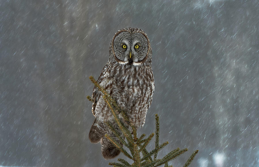 Grey Owl Photograph - On Watch by Nick Kalathas