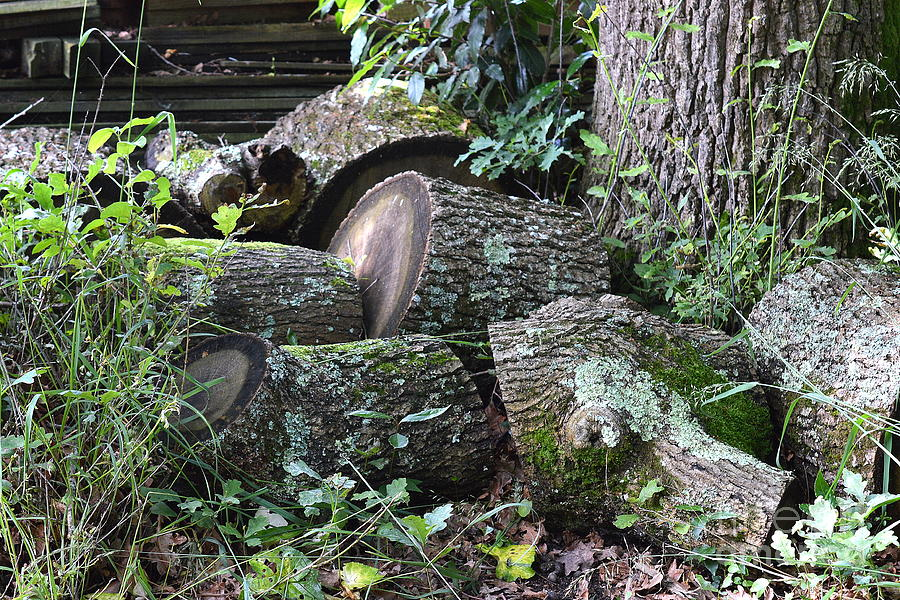 Felled Tree Photograph - Once A Mighty Oak by Bishopston Fine Art
