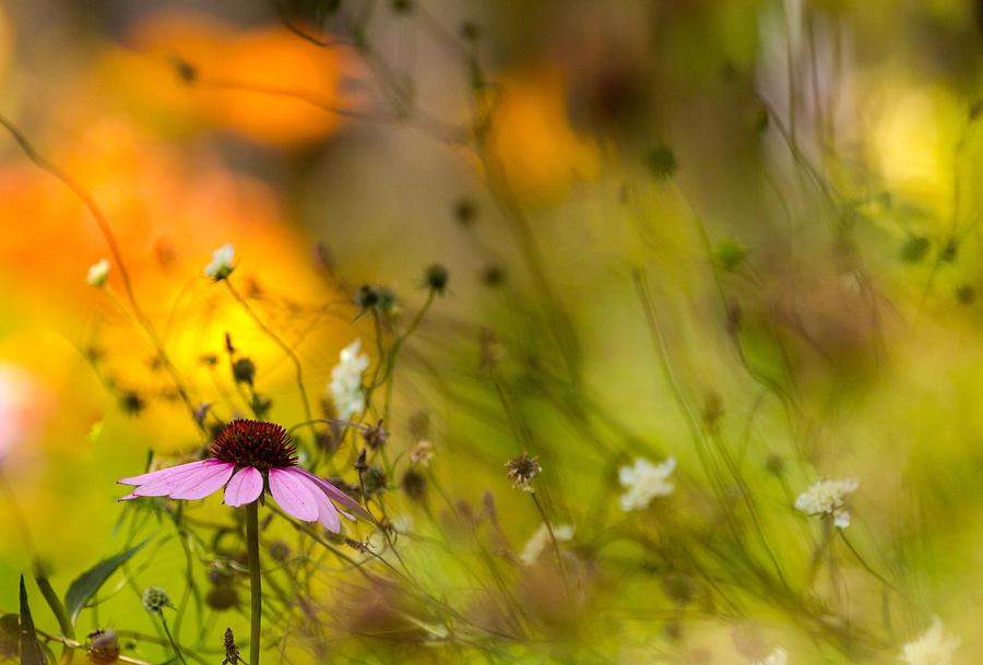 Cone Flower Photograph - Once Upon A Time There Lived A Flower by Mary Amerman