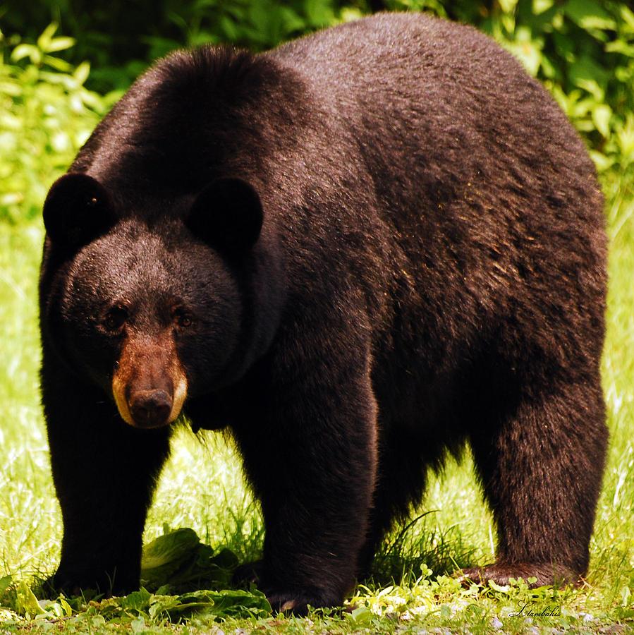Bear Photograph - One Big Bad Momma by Lori Tambakis