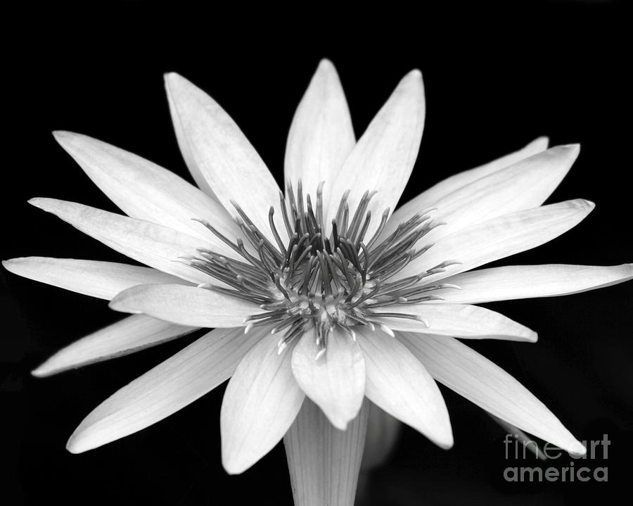 Water Lily Photograph - One Black And White Water Lily by Sabrina L Ryan