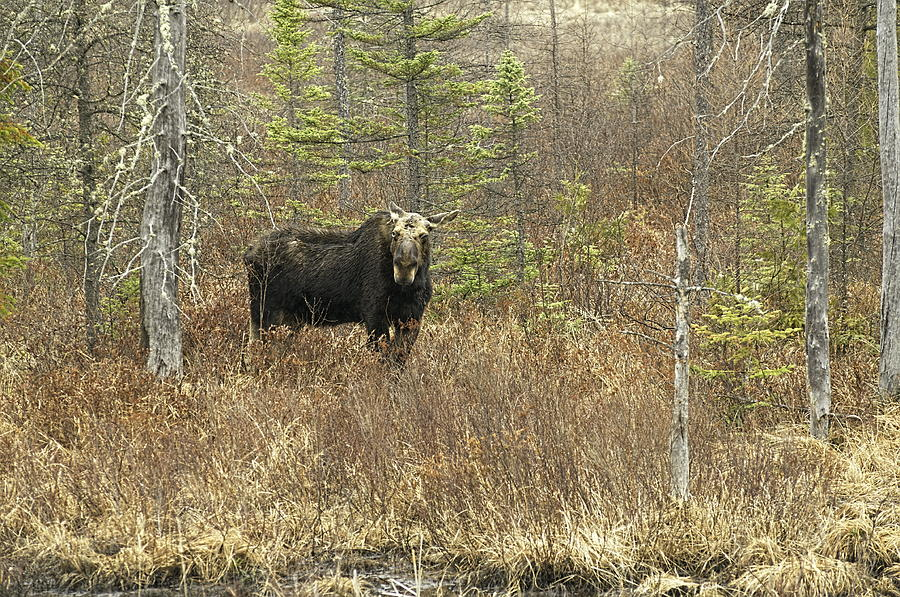 Algonquin Photograph - One eyed Moose by Alan Norsworthy
