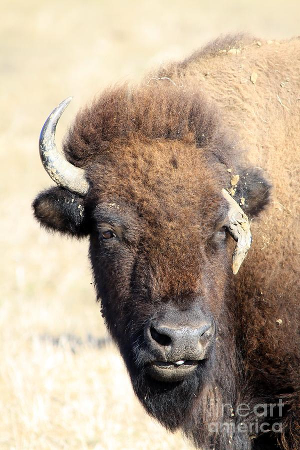 Bison Photograph - One Fight Too Many by Rick Rauzi
