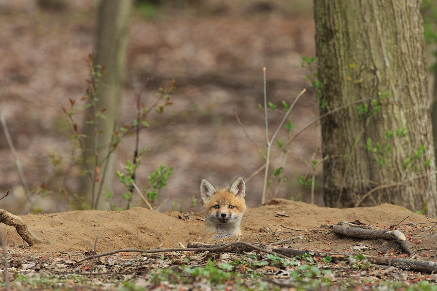 Red Fox Photograph - One Last Look by Everet Regal