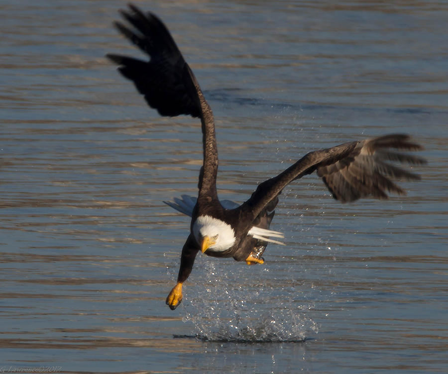 American Bald Eagles  Photograph - One Legged Grab by Glenn Lawrence