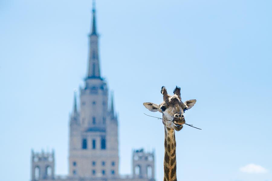 Giraffe Photograph - One More Bite To Outgrow The Tallest 2 by Alexander Senin