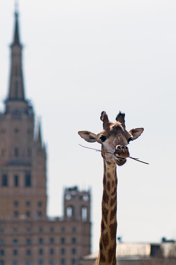 Giraffe Photograph - One More Bite To Outgrow The Tallest 4 by Alexander Senin