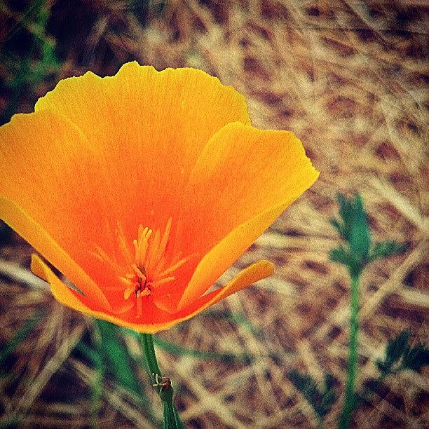 Flowers Photograph - One More California Golden Poppies. I by Dalan Swenson