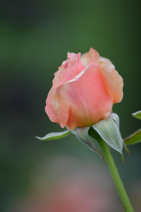 One pink rosebud by Anne Boyes