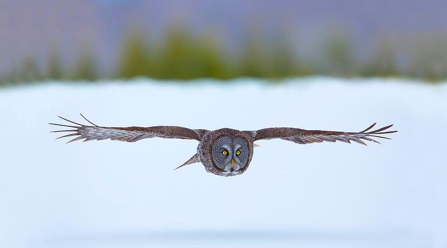 On The Hunt - Great Gray Owl by Dale J Martin