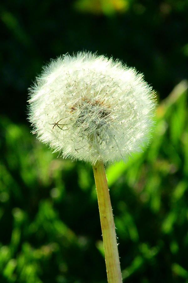 Dandelion Photograph - One Thousand Wishes by Andrea Dale
