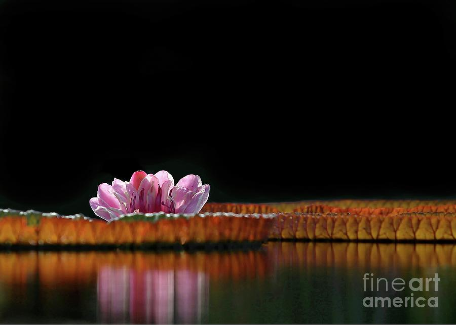 Water Lily Photograph - One Water Lily by Sabrina L Ryan