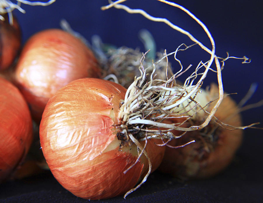 Fun Photograph - Onion Roots by David Kehrli