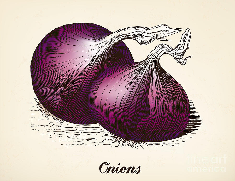 Onions Vintage Illustration Red Onions Digital Art by ...
