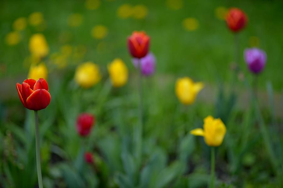 Tulips Photograph - Only Inspite Of The Others by Patrick Pestre