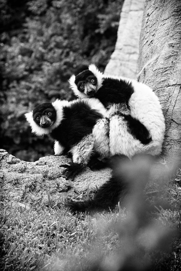 Lemur Photograph - Oops by Goyo Ambrosio