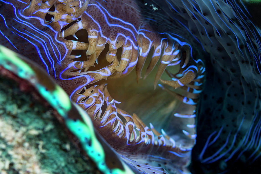 Australia Photograph - Open Giant Clam Siphon by Michael Szoenyi/science Photo Library