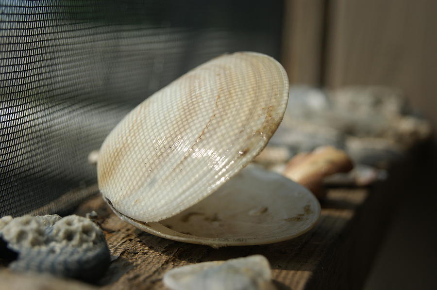 Seashell Photograph - Open Seashell by Anne Williamson