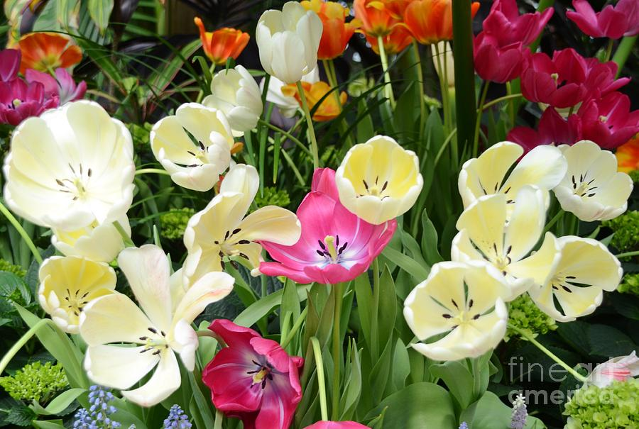 Tulip Photograph - Open Tulips by Kathleen Struckle