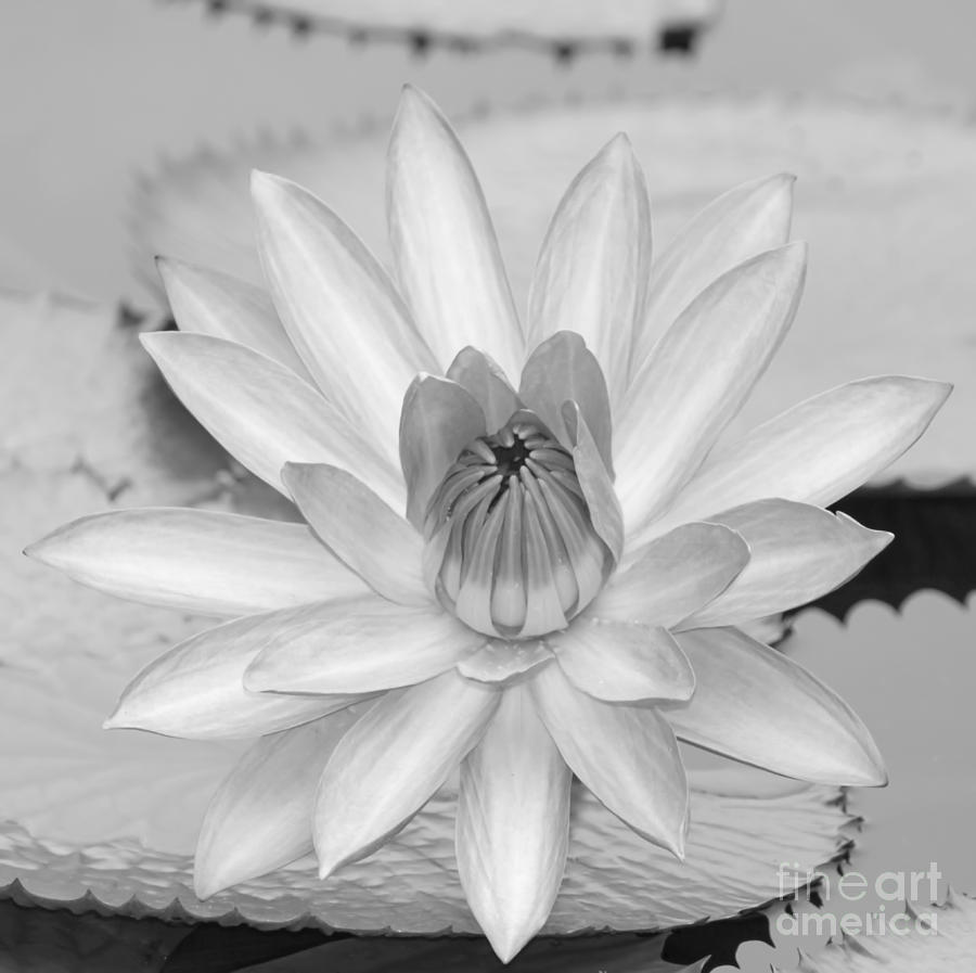 Water Lily Stencil Black And White: Opened Water Lily In Black And White #12 Photograph By
