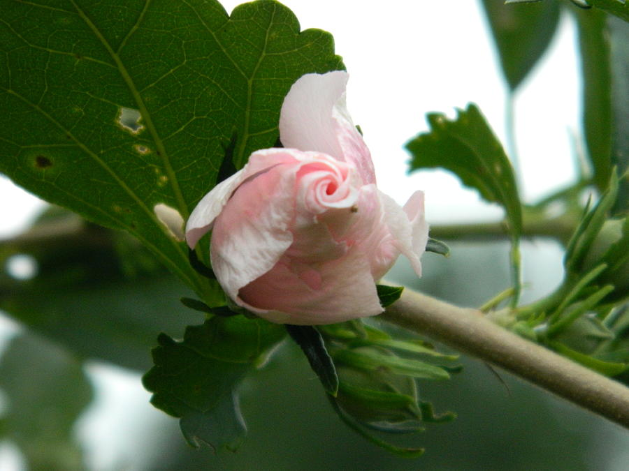 Rose Of Sharon Photograph - Opening Bloom by Linda Brown