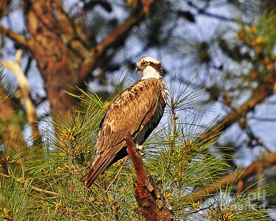 Osprey Photograph - Opulent Osprey by Al Powell Photography USA